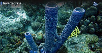 Stove Pipe Sea Sponge