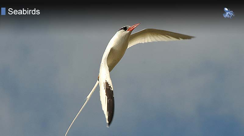 Tropicbirds from Blane Peruns TheSea