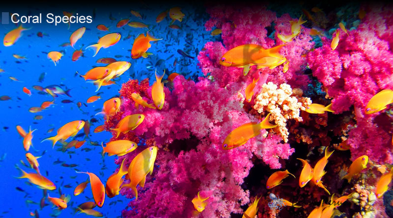 What Gives Coral Its Color from Blane Peruns TheSea.Org