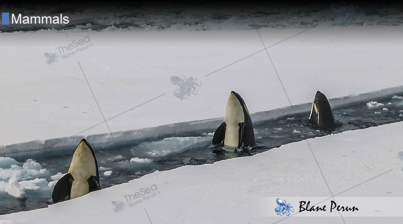 What Attacks Killer Whales from Blane Peruns TheSea.Org