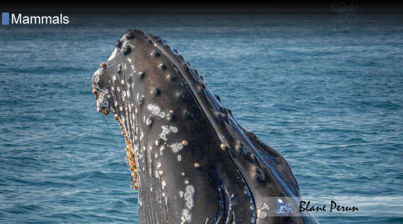 What Does The Barnacle Do For The Whale from Blane Peruns TheSea.Org