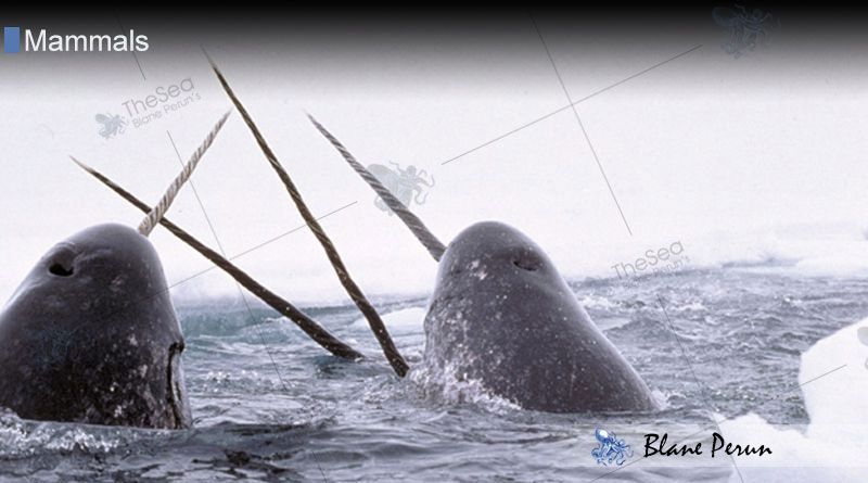 What Is A Narwhal Tusk Used For from Blane Peruns TheSea.Org