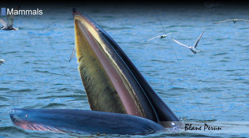 Where Are Baleen Whales Found from Blane Peruns TheSea.Org