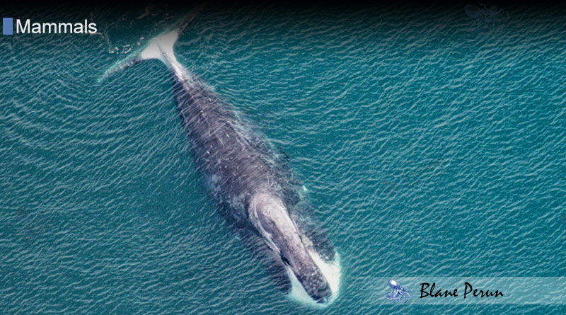Which Whale Lives The Longest from Blane Peruns TheSea.Org