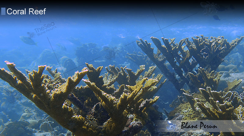 Why Are Coral Reefs Found In Tropical Waters from Blane Peruns TheSea