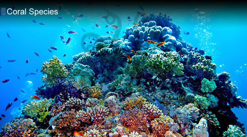 Why Is Coral Important from Blane Peruns TheSea.Org