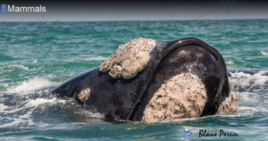 Why Right Whales Have Callosities