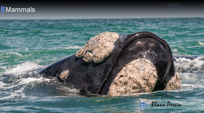 Why Do Right Whales Have Callosities from Blane Peruns TheSea.Org