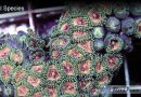 Zoanthid Eating