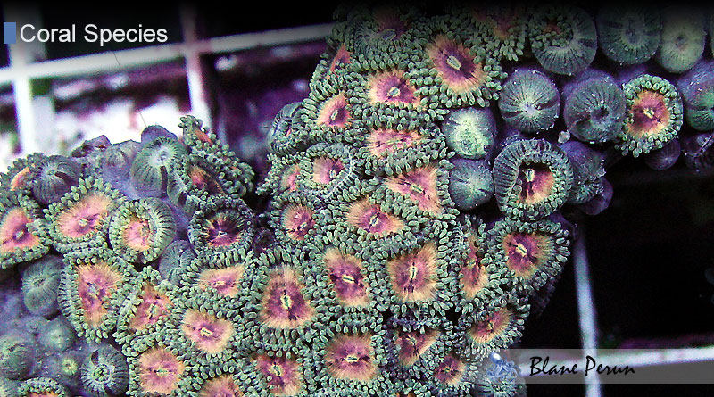 Zoanthid Eating from Blane Peruns TheSea