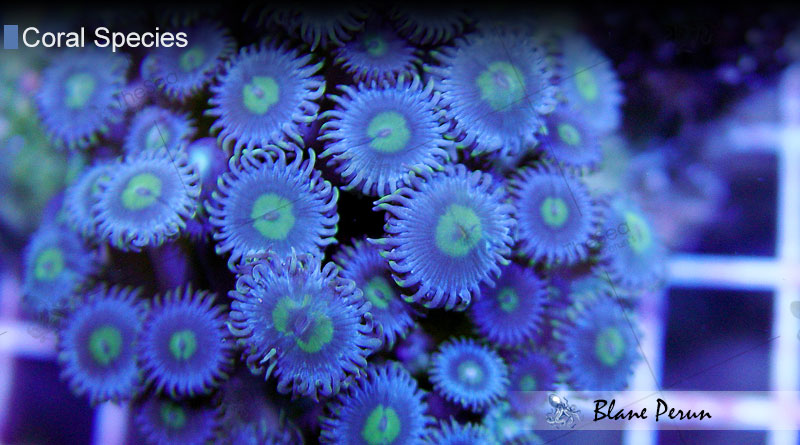 Zoanthids from Blane Peruns TheSea