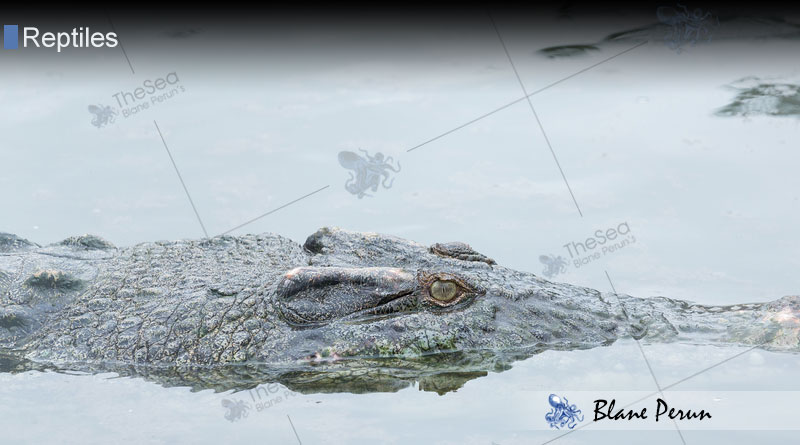 How Long Do Crocodiles Live From Blane Peruns TheSea.Org