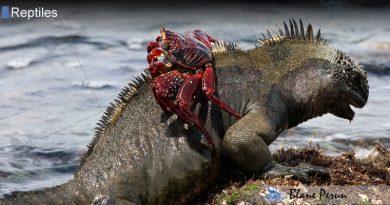 What Do  Marine Iguanas Eat