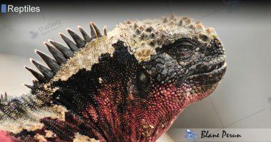 Why Are Marine Iguanas Endangered